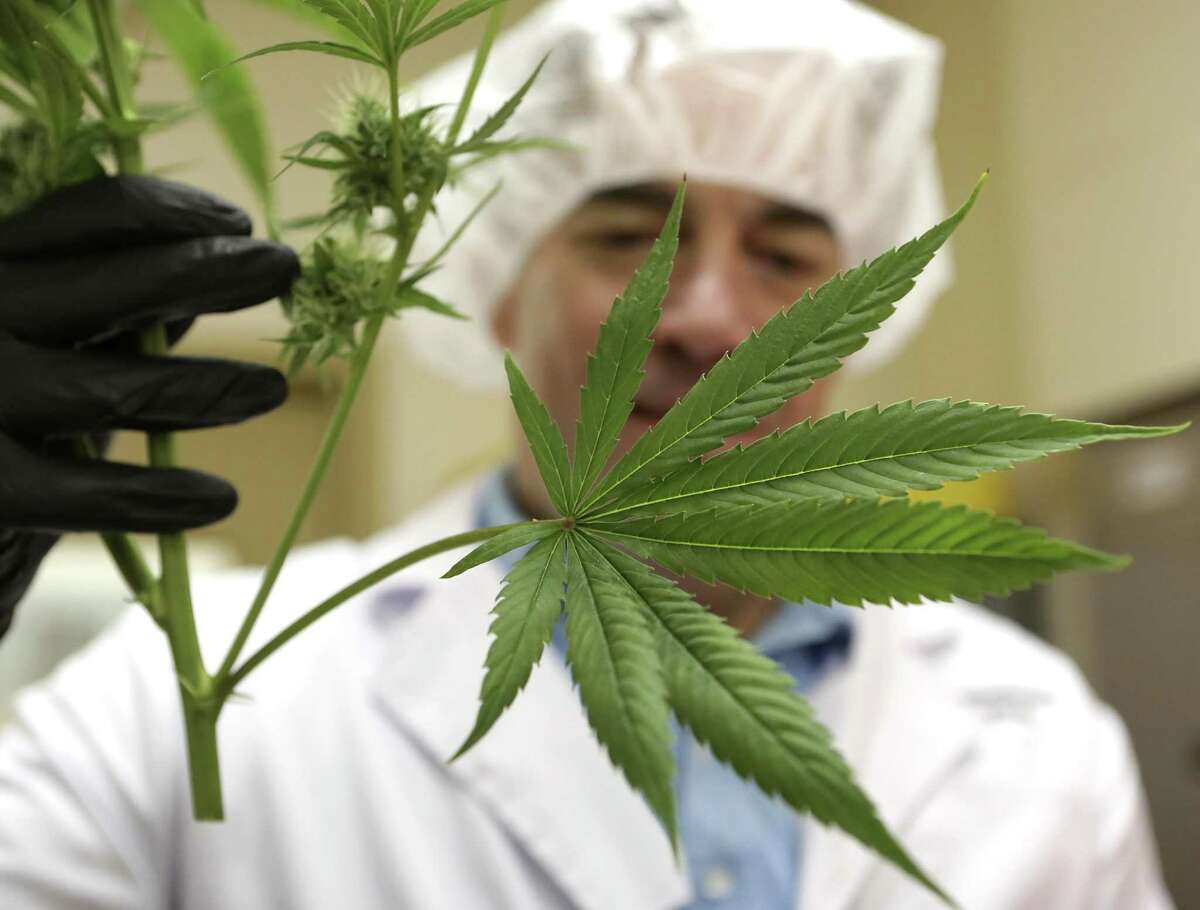 Morris Denton, CEO of Compassionate Cultivation in Austin, inspects a clipping from a plant. The company harvestsmarijuana plants in the manufacture process of CBD products.