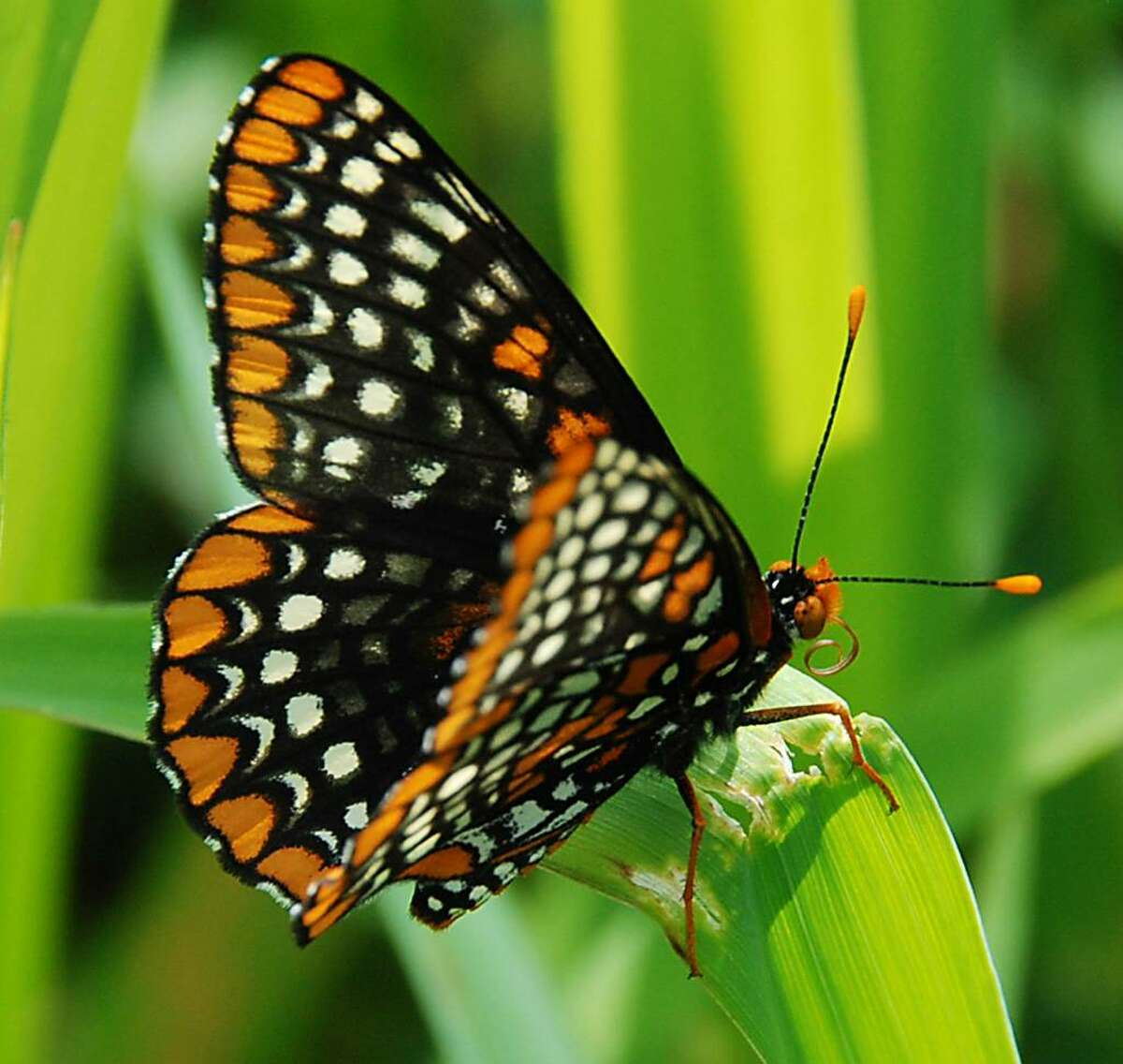 The Baltimore checkerspot is a dazzlingly beautiful butterfly. Note the coiled mouth parts under the head that are used to sip nectar from flowers. (Bill Danielson)