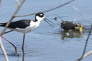 A bird watches a snake tackle a catfish for lunch at the Cattail Marsh on Wednesday. Photo taken Wednesday April 25, 2018 Guiseppe Barranco/The Enterprise