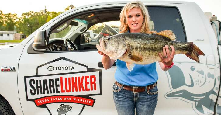 """While Texas """"reinvented"""" ShareLunker program this year expanded to include largemouth bass weighing 8 pounds or more, Texas fisheries managers still employ only donated 13-pound or heavier fish, like this 13.06-pound Sam Rayburn fish landed by angler Stacy Spriggs, in hatchery projects developing superior fish for stocking into public waters."""