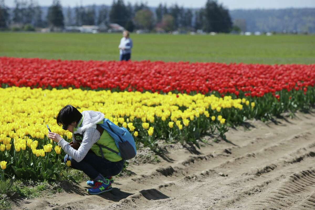 Colorful flowers paint the landscape of the annual Skagit Valley Tulip Festival on Wednesday, April 25, 2017. The tulip festival finishes up at the end of April.