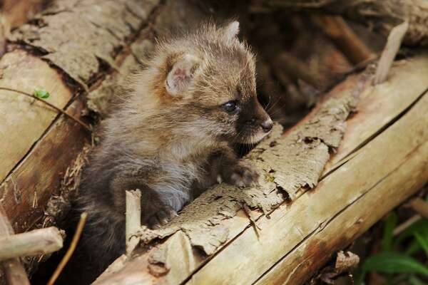This gray fox pup may look cute, but it is still a wild animal and should not be handled. Young foxes are cared for by both adults. Therefore, the death of one adult does not necessarily mean that the young foxes are orphaned and need assistance.