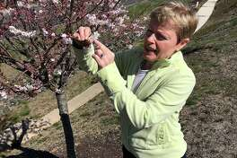 "Michele MacKinnon, a master gardener and educator, inspects the blossoms of a crab apple tree at Litchfield Crossings shopping center in New Milford on Monday. MacKinnon will lead a discussion and tour of native plants at the ""Get the Dirt"" event at Litchfield Crossings on Sunday."