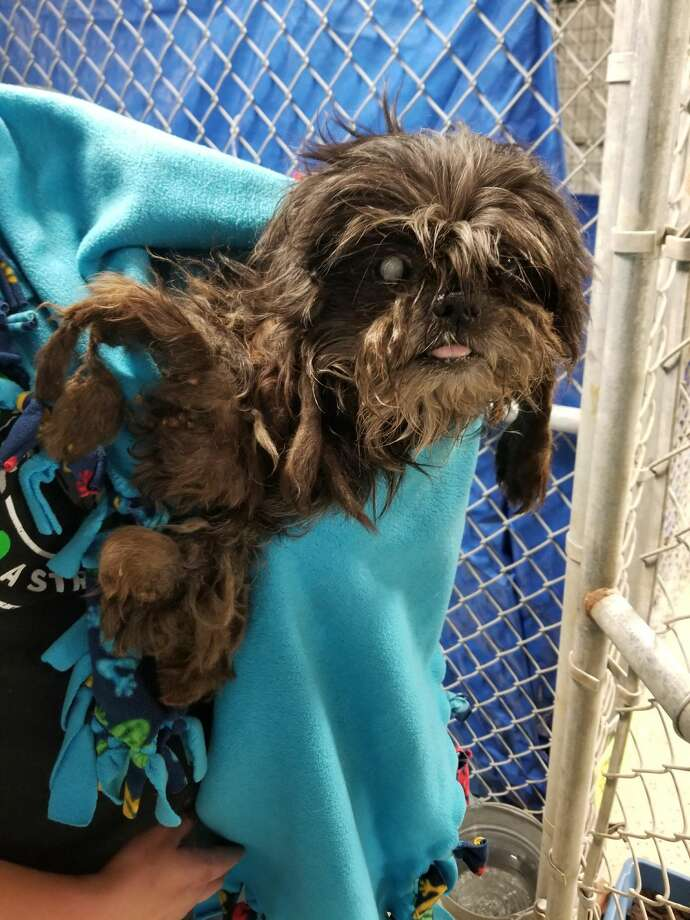 "Rumor, a Shih Tzu mix, was rescued from the ""Corridor of Cruelty"" near U.S. 59 and Little York in April 2018.WARNING: Some of the following images are disturbing Photo: Corridor Rescue Inc."