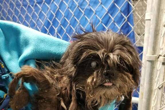 "Rumor, a Shitzu mix, was rescued from the ""Corridor of Cruelty"" near Highway 59 and Little York in April of 2018. Corridor Rescue, an animal rescue group, said Rumor could barely see and was covered in matted hair when they first met him. Is in the process of recovering after being left on the streets."