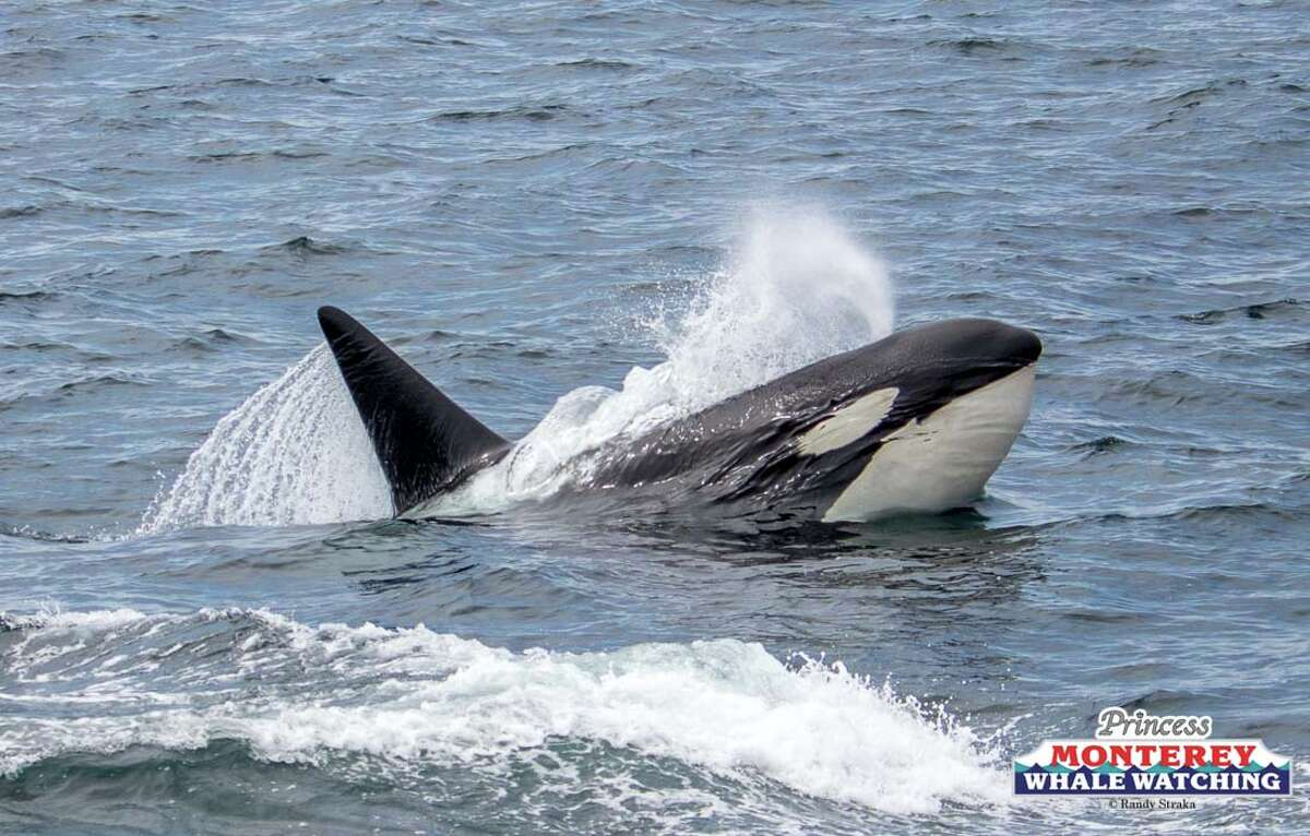 Multiple pods of orcas converged in Monterey Bay on Wednesday, April 25, 2018, creating an amazing sight for whale watchers.
