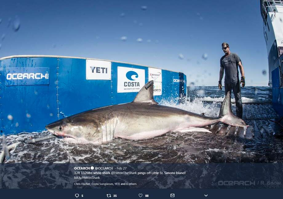 """Hilton,"" a 12.5 feet long and 1,326 pound great white shark, may be making his way toward Texas soon. Photo: OCEARCH"