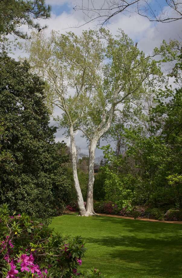 File photo of an American sycamore. Phil Grant photo Photo: / / Phil Grant 2012