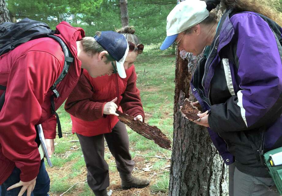 From left, Niklas Lowe, a graduate student at Central Connecticut State University, Claire Rutledge, an entomologist with the Connecticut Agricultural Experiment Station and  Alicia Bray, an assistant professor at Central Connecticut State University, inspect a dead red pine tree to see if there are southern pine beetles. Photo: Katrina Koerting / Katrina Koerting / The News-Times