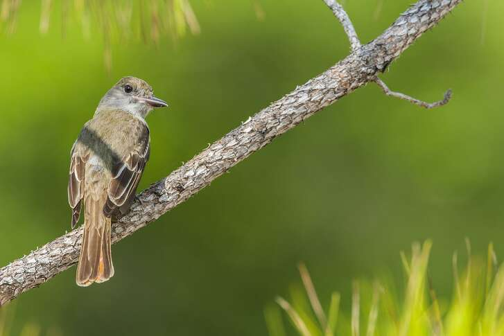 Great Crested Flycatchers have adapted to breeding in trees among our neighborhoods.