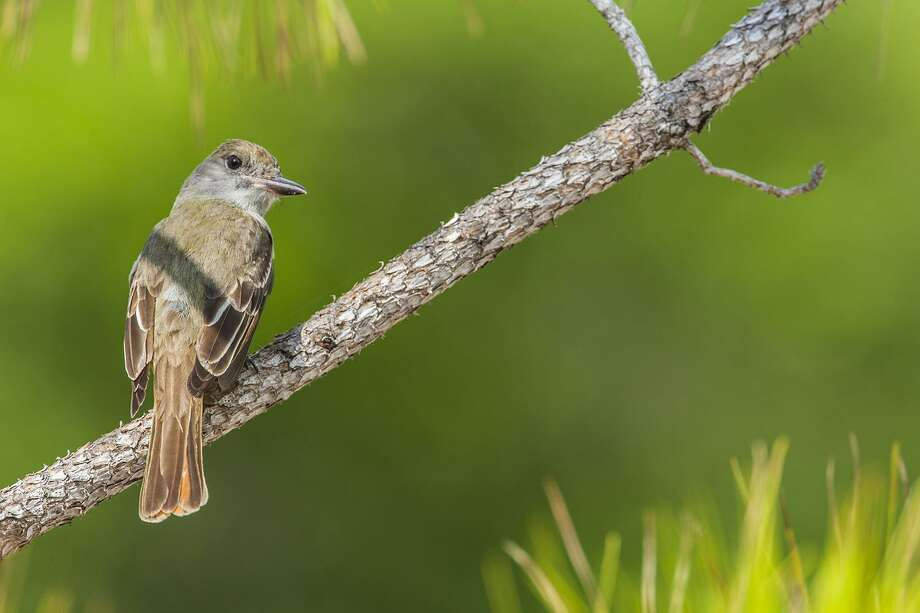Great Crested Flycatchers have adapted to breeding in trees among our neighborhoods. Photo: Kathy Adams Clark / Kathy Adams Clark/KAC Productions / Kathy Adams Clark/KAC Productions