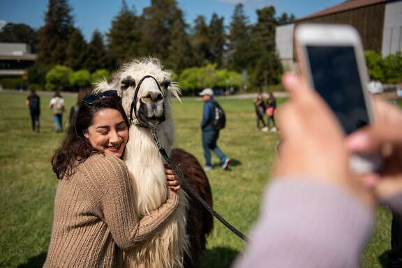 Junior cognitive science student Karen Gutierrez hugs Tombo the llama. Six llamas arrived at UC Berkeley on Friday, April 27, 2018 as part of �Llama-palooza�, to help ease student stress in the run up to final exams.