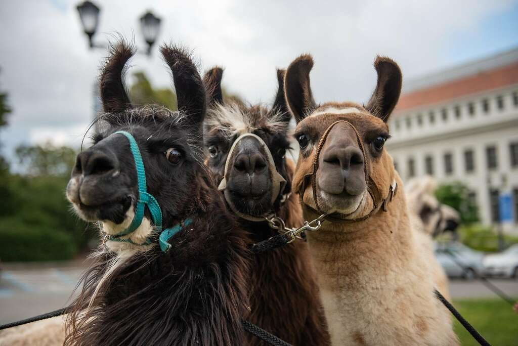 Image result for Alpaca berkeley