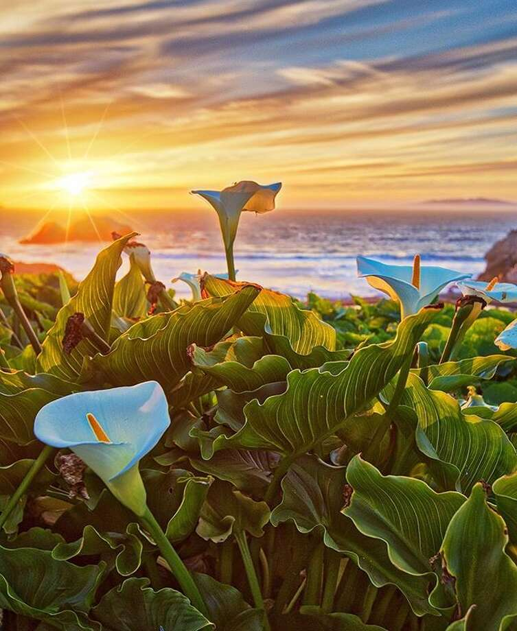 Calla Lillies over Sutro Baths by @michaelpegramphoto . Photo: Instagram / Michaelpegramphoto