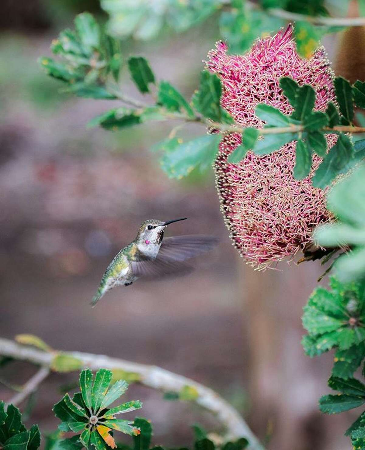 @eugeneling_ photographed a never stopping hummingbird in SF's Botanical Garden.
