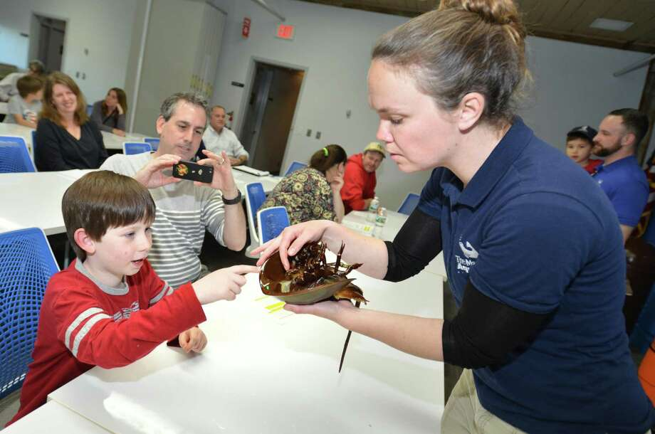 Maritime Aquarium Bridget Cervero, Citizen Science Co-ordinator shows where the tag goes on a horeshoe crab  to 7yr-0d Luke Vivano and his dad David during a volunteer orientation session on Thursday April 26, 2018 in Norwalk Conn. The Maritime Aquarium will collaborate with Dr. Jennifer Mattei for the census where they will measure, identify gender, and tag the crabs during high tides at Calf Pasture Beach Photo: Alex Von Kleydorff / Hearst Connecticut Media / Norwalk Hour