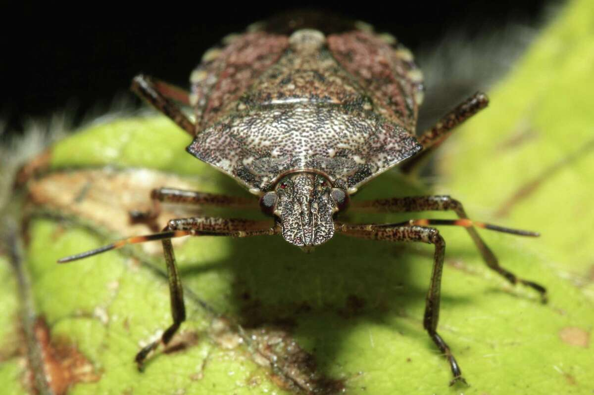 This April 14, 2011 file photo shows a brown marmorated stink bug at a Penn State research station in Biglerville, Pa. The bug that attacks fruits crops, including wine grapes, has shown up found in the Oregon towns Hood River and Rogue River, both orchard centers. Researchers at Oregon State say the spread of the brown marmorated stink bug is significant because of the damage it has cause in mid-Atlantic states. (AP Photo/Matt Rourke, File)