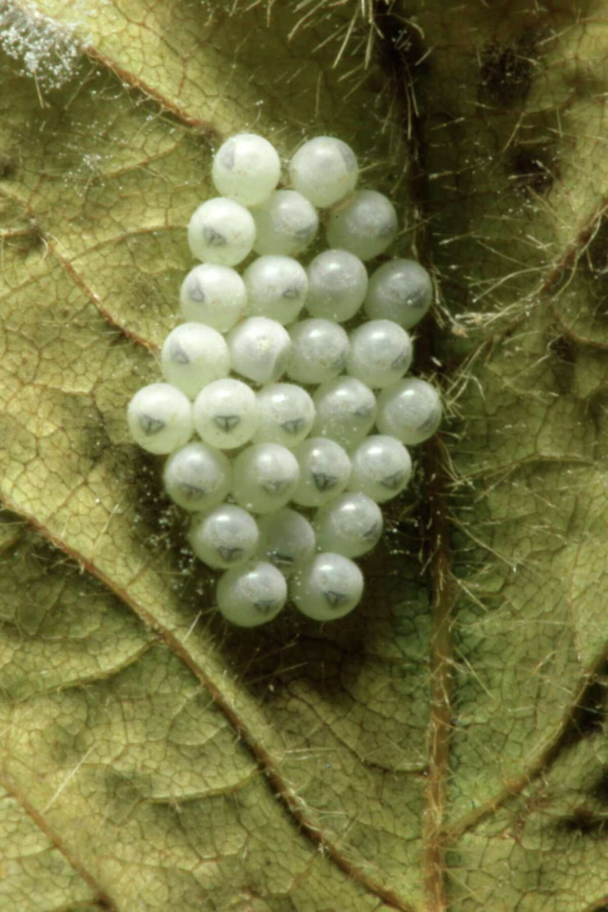 FILE - This Thursday, April 14, 2011, file photo shows brown marmorated stink bug eggs at a Penn State research station in Biglerville, Pa. The bug is native to Asia and began appearing in mid-Atlantic orchards in 2003. It?'s now been spotted in 33 states, including every one east of the Mississippi River and as far west as California. (AP Photo/Matt Rourke, File)