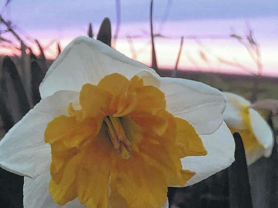 A daffodil opens itself to the warm temperatures.