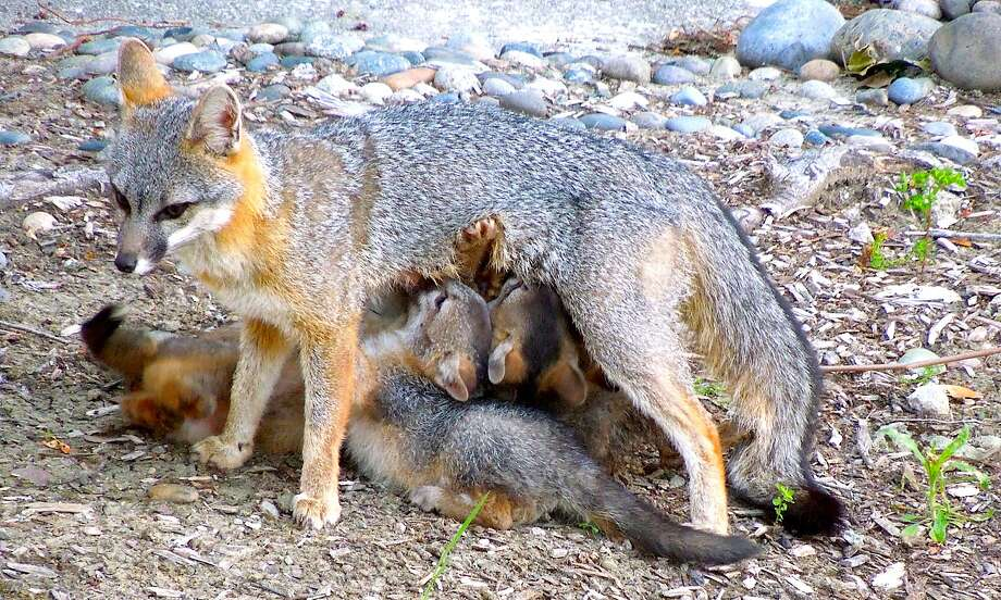 A rare photograph of a momma fox nursing her five pups, where a similar litter was born two years ago -- and the fox then returned to the site Photo: Tom Stienstra, Brian Murphy / Special To The Chronicle