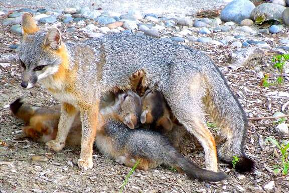 A rare photograph of a momma fox nursing her five pups, where a similar litter was born two years ago -- and the fox then returned to the site