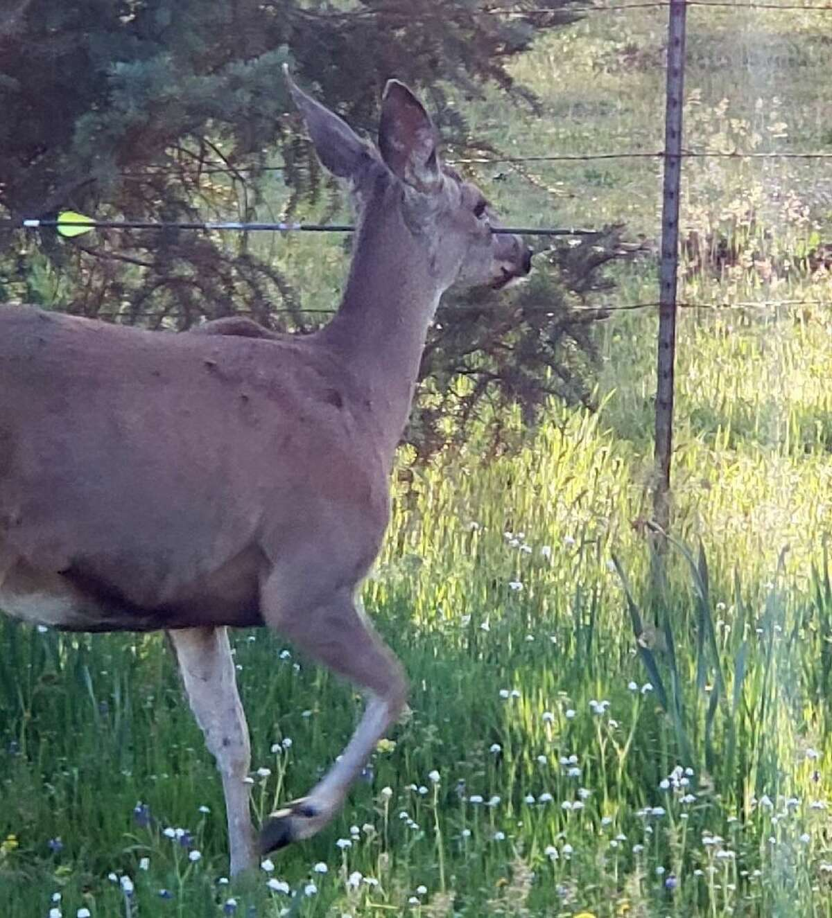 Oregon State Police shared photos of two deer that were shot with arrows and seen alive and roaming in the southern part of the state.
