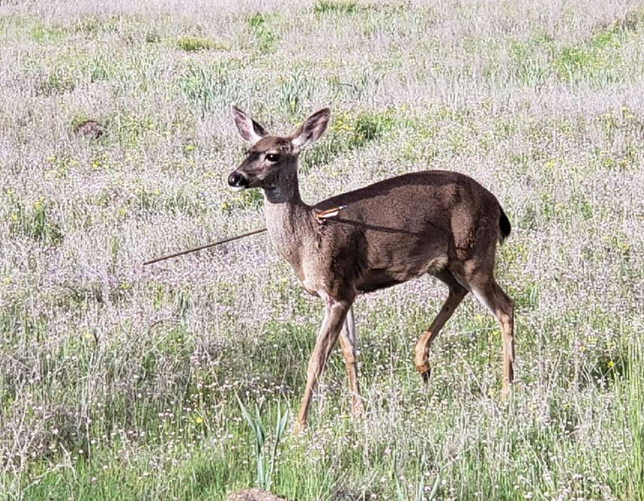 State wildlife officials and law enforcement are offering a reward for information leading to the arrest of whoever has been responsible for a curious sight in the Oregon wilderness: live deer roaming around with arrows stuck in them. Photo: Handout From Oregon State Police / Handout