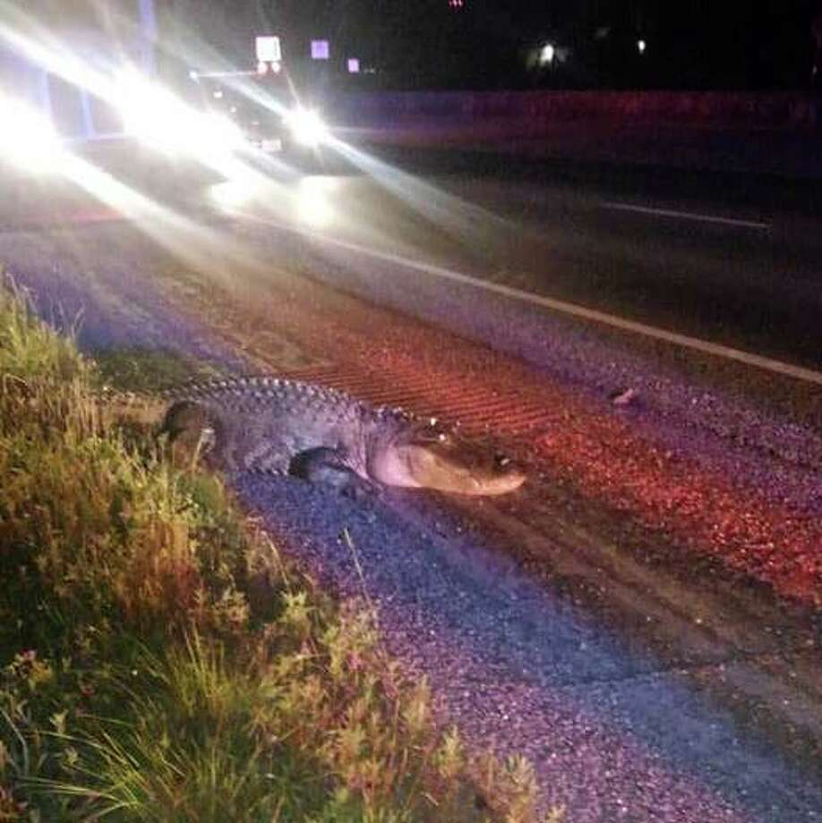 A massive alligator stopped traffic on US 59 near the SH 105 intersection in Cleveland, Monday, April 30, 2018.  Photo: Chance Ward
