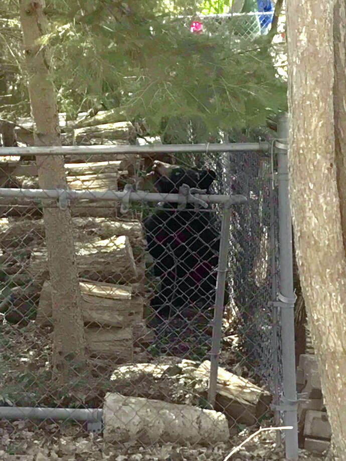 A black bear is seen in the city of Midland on Monday, April 30. (Kate Carlson/kcarlson@mdn.net) Photo: Kate Carlson/kcarlson@mdn.net