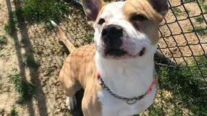 Papa is a 5-year-old male pit bull terrier mix available at the Menands adoption center.