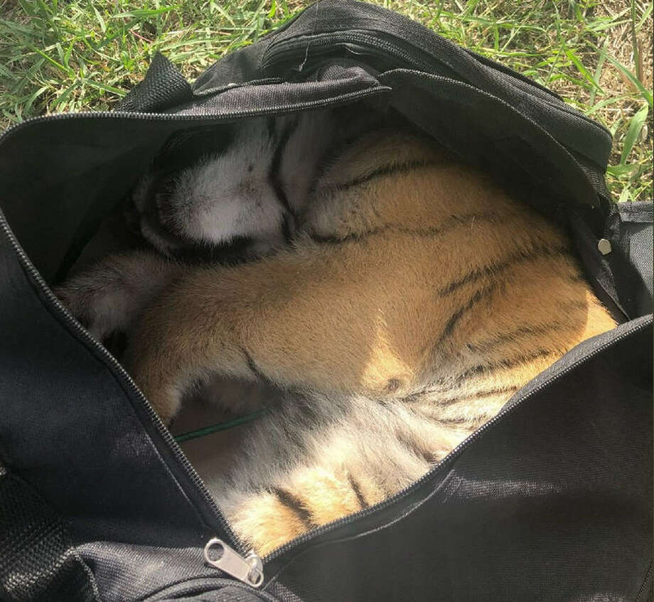 A live tiger cub was found in an abandoned duffel bag by U.S. Border Patrol agents near Brownsville on Monday.  Photo: U.S. Border Patrol