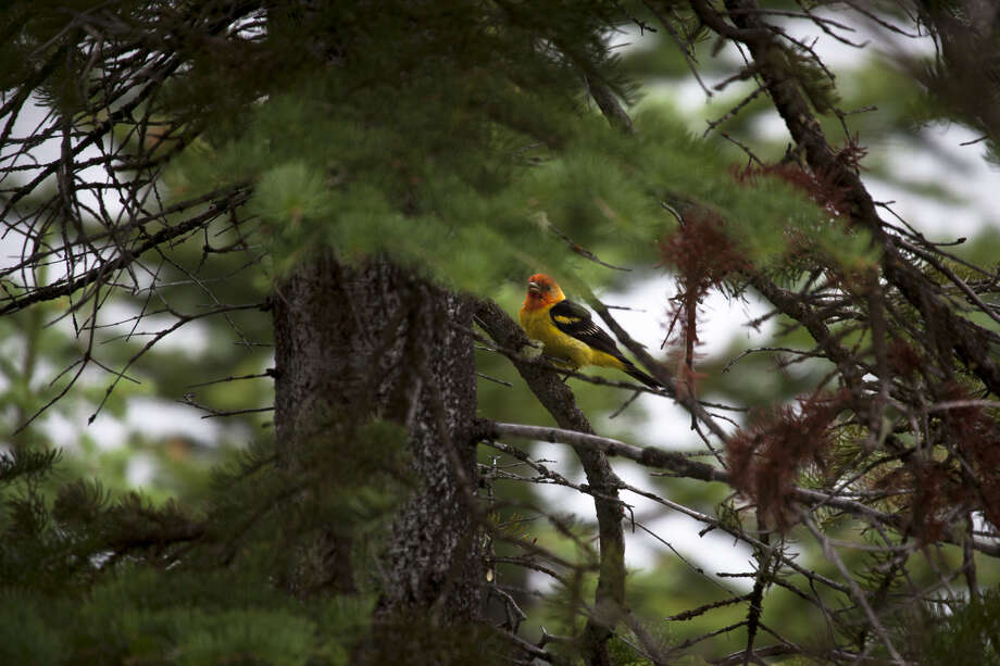 A western tanager in the Grand Tetons. Photo: Dave Walsh / VW Pics / Getty Images