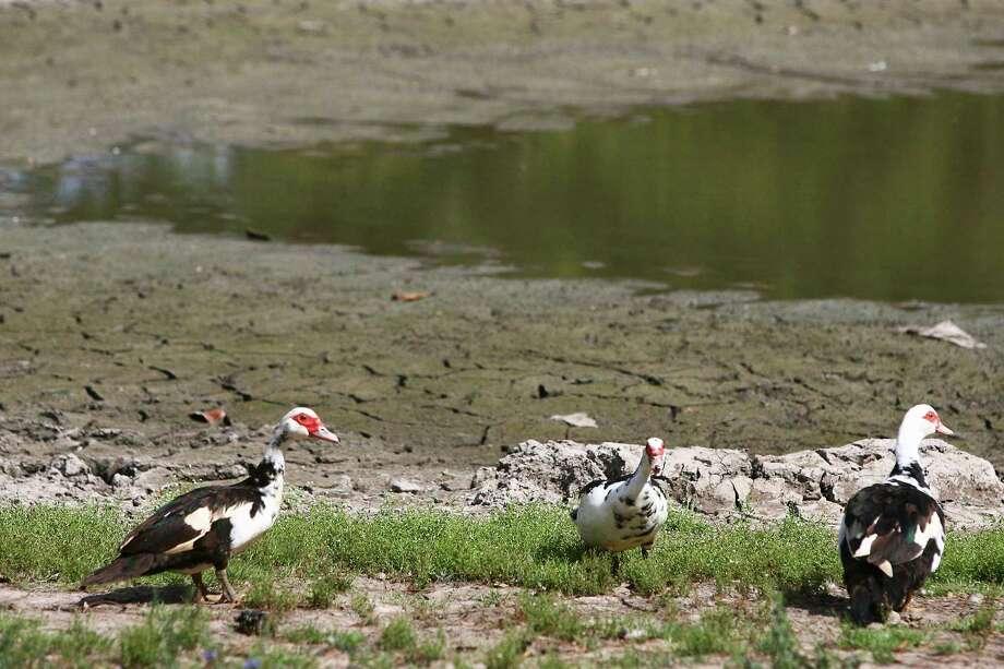 El pato Muscovy ha sido una reciente sensación en los avistamientos durante los pasados dos festivales Laredo Birding Festival. Photo: Karl Anderson / Staff photo by Karl Anderson