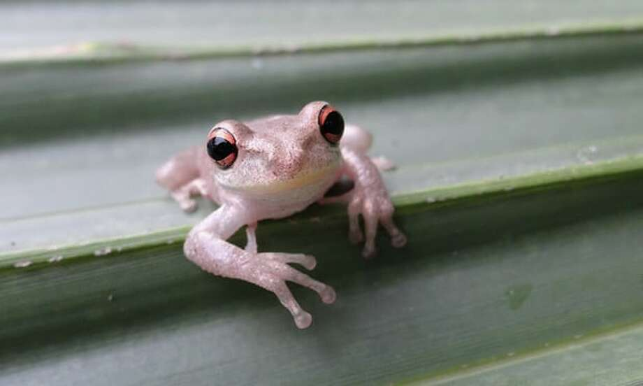 The U.S. Geological Survey warns that a species of Cuban tree frog has made the leap from Florida and is slowing making its way west. Photo: Brad Glorioso/USGS