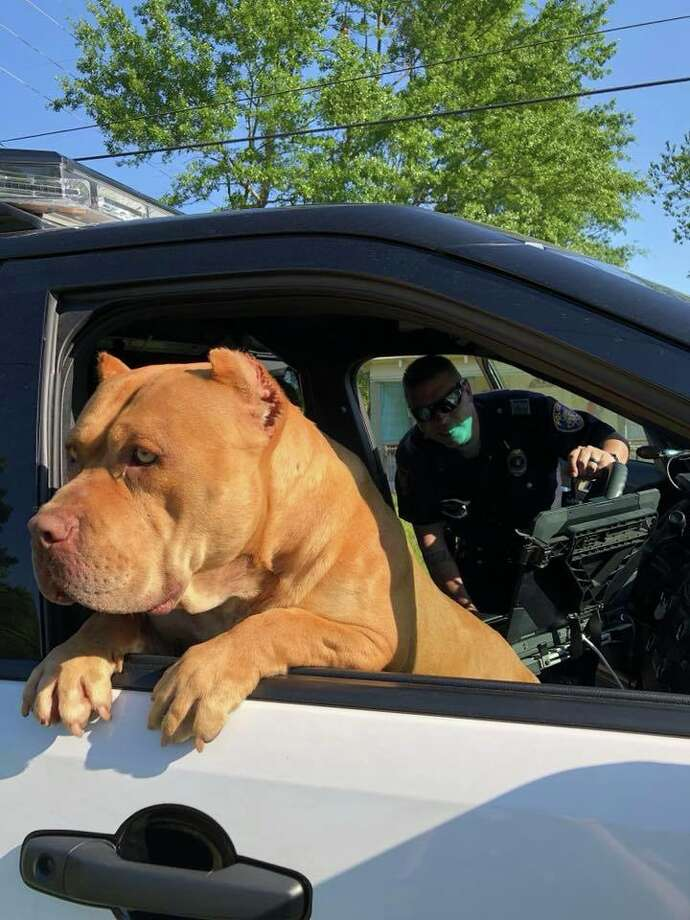 Gold, an American bully, was picked up after the Texarkana Police Department got a about a vicious dog, but there was nothing vicious about him. Photo: Texarkana Police Department