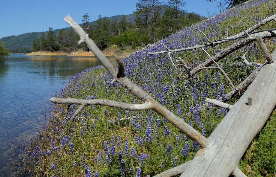 A raft of lupine blooming along shore of cove at Shasta Lake Photo: Tom Stienstra / Tom Stienstra / The Chronicle