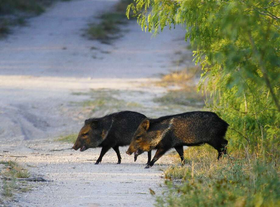 A pair of collared peccary - javelina to most Texans - cross an opening in the South Texas Brush Country. The endemic javelina resemble pigs but are a distinct family of mammals all to themselves. Unlike invasive feral hogs, the little javelina are an integral part of the rich mosaic of native wildlife that help make South Texas a special place. Photo: Shannon Tompkins, Houston Chronicle