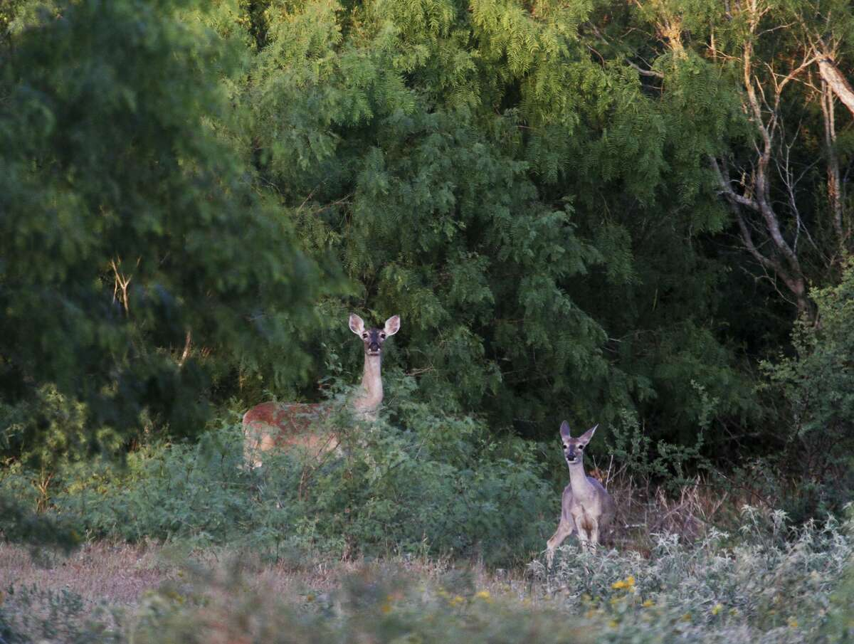 A doe white-tailed deer and her yearling born this past summer keep a watchful eye near the cover of a thick mesquite stand as they feed on spring greenery. The does gray winter coat is slowly shifting to the reddish color worn during summer; the yearling's will soon follow.