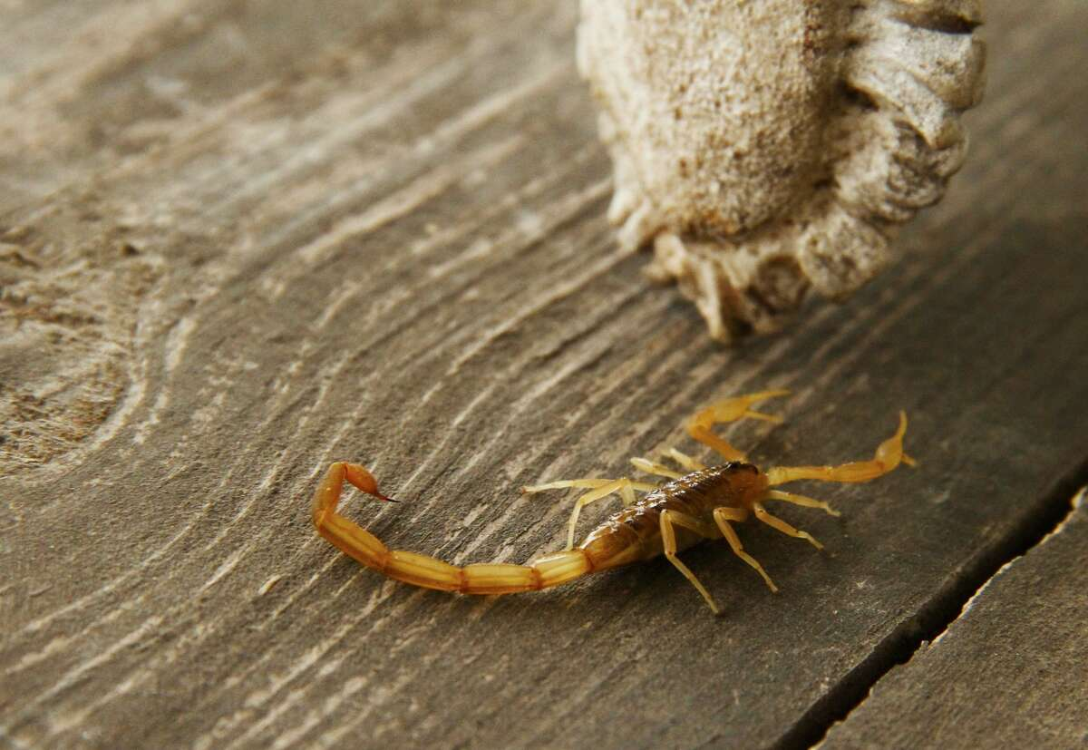 A bark scorpion, ubiquitous residents of the brush country, crawls across a table on a porch on a South Texas ranch. There's truth in the common saying,