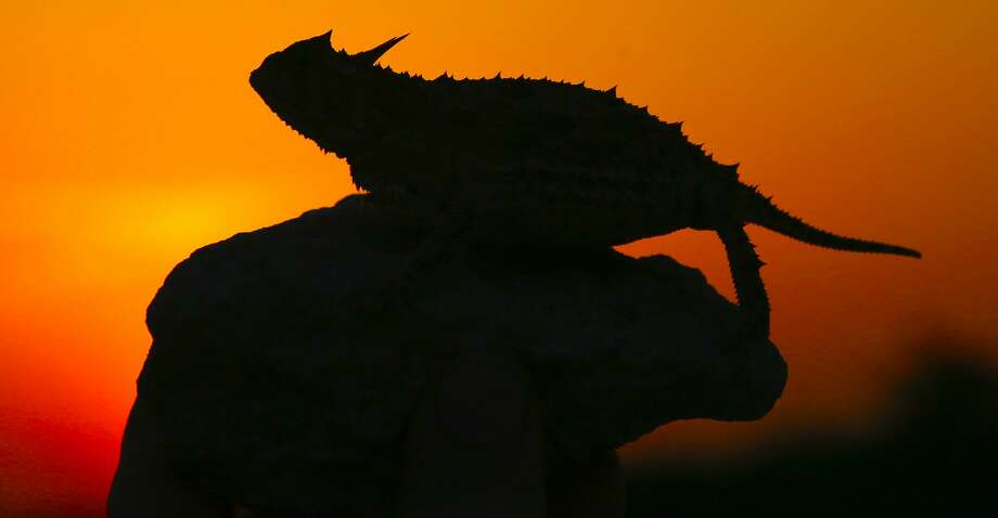 "Silhouetted against a South Texas sunset on an April evening, a Texas horned lizard takes a breather after a supper of ants. The ""horny toads"" have disappeared from much of Texas. but populations of the iconic reptiles (and the native harvester ants on which they depend) remain strong on some of the wildlands in South Texas' harsh ""Brush Country."" Photo: Shannon Tompkins/Houston Chronicle"