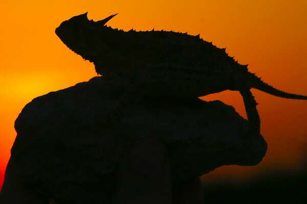 "Silhouetted against a South Texas sunset on and?? April evening, a Texas horned lizard takes a breather after a supper of ants. The ""horny toads"" have disappeared from much of Texas. but populations of the iconic reptiles (and the native harvester ants on which they depend) remain strong on some of the wildlands in South Texas' harsh ""Brush Country."""