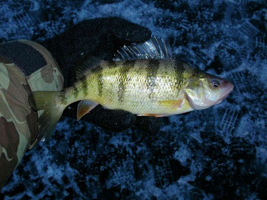 An ice-fishing-caught perch from Saginaw Bay. (Steve Griffin file photo/Hearst Michigan)