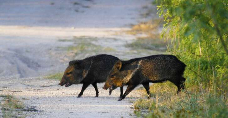 A pair of collared peccary - javelina to most Texans - cross an opening in the South Texas Brush Country. The endemic javelina resemble pigs but are a distinct family of mammals all to themselves. Unlike invasive feral hogs, the little javelina are an integral part of the rich mosaic of native wildlife that help make South Texas a special place.