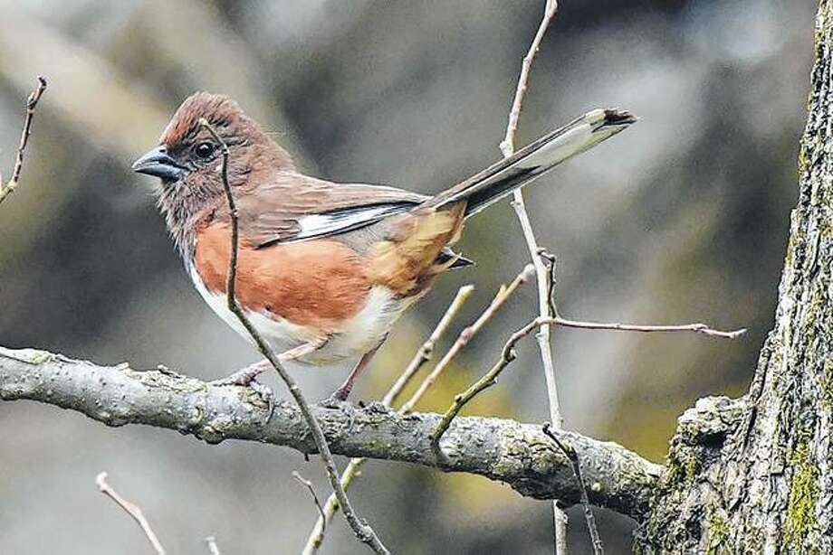An Eastern towhee enjoys the day from the branch of a tree. Eastern towhees are known for their unique high-pitched call.
