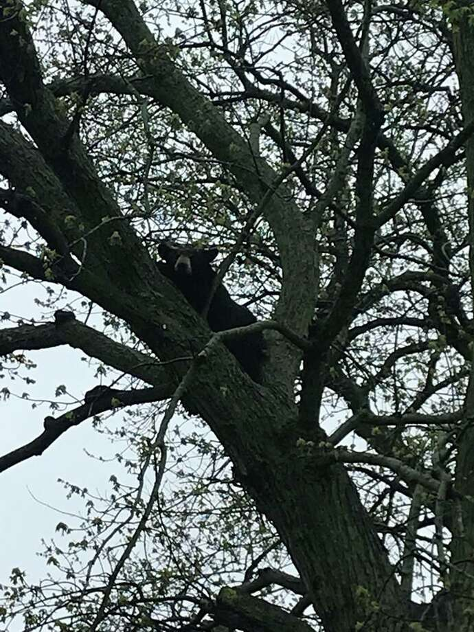 A bear climbs a tree in a Grand Rapids subdivision on Thursday. (Grand Rapids Police Department)
