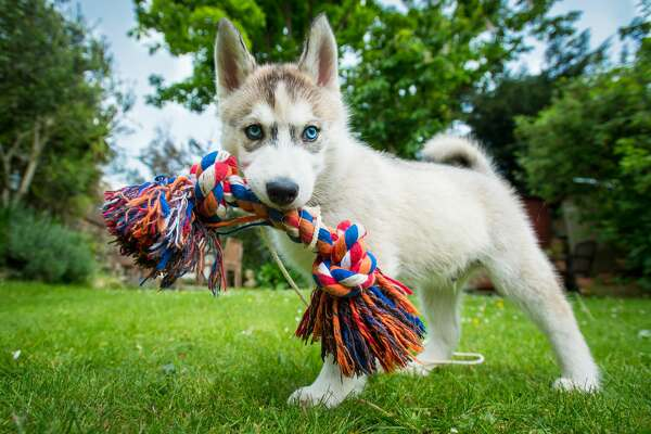 7) Lord Stanley The Pup