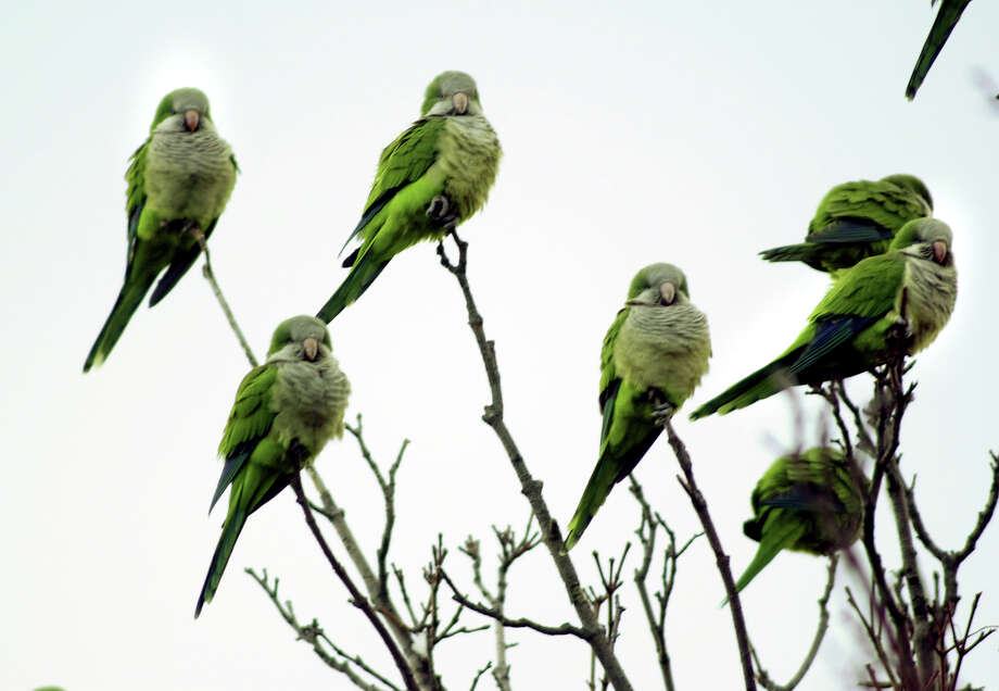 Some Monk Parakeets in a tree. Photo: File Photo/Chirstian Abraham, File Photo / Connecticut Post file photo