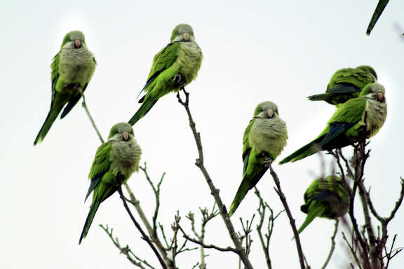 FILE PHOTO 12/20/03,  Some Monk Parakeets sit in a tree along Pelham Street in Milford on Saturday. Dozens of the noisey little birds have made their nests in the trees nearby.