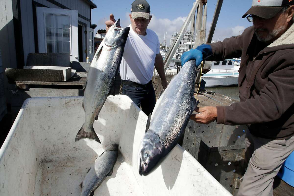 Roger Whitney and Lupe Billacabos of Bay Fresh Seafoods toss California King salmon in a bin Thursday, May 3, 2018 in Moss Landing, Calif.