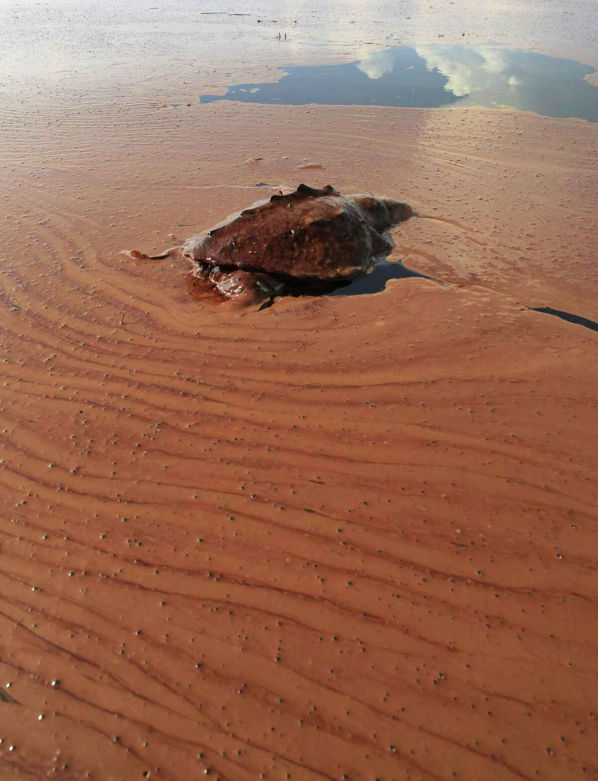 In this June 7, 2010 file photo, a dead turtle floats on a pool of oil from the Deepwater Horizon spill in Barataria Bay off the coast of Louisiana Monday, June, 7, 2010.